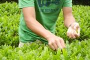 室戸青少年自然の家では茶畑があり、新芽を摘んで煎り、乾燥させて新茶をいただきました