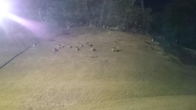 ナイターゴルフを初体験。鹿たちに見られながらのショットは緊張しますなあ